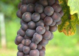 In Chianti per piantare le viti